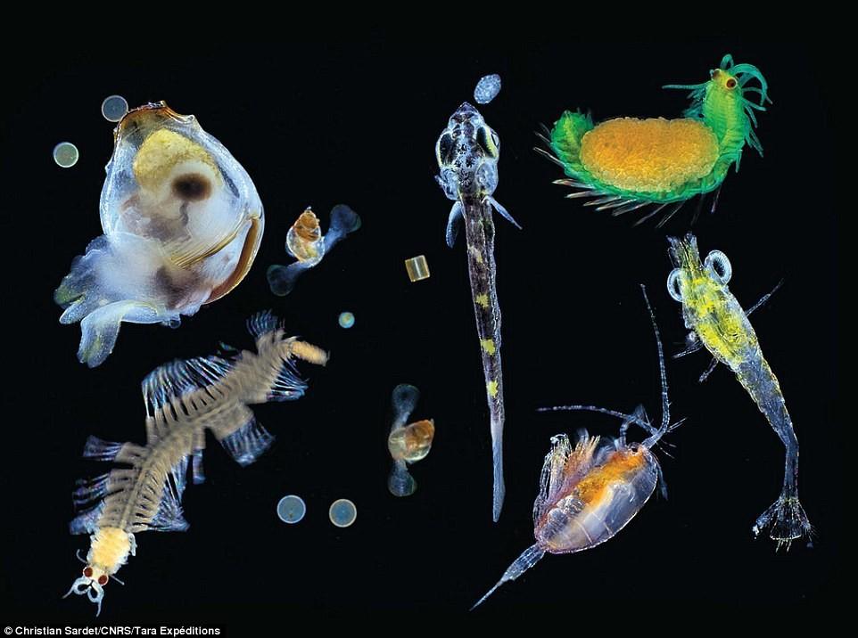plankton 4