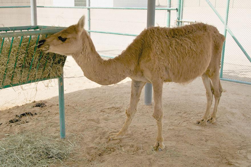 camel lama