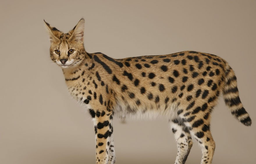 domestic cat serval