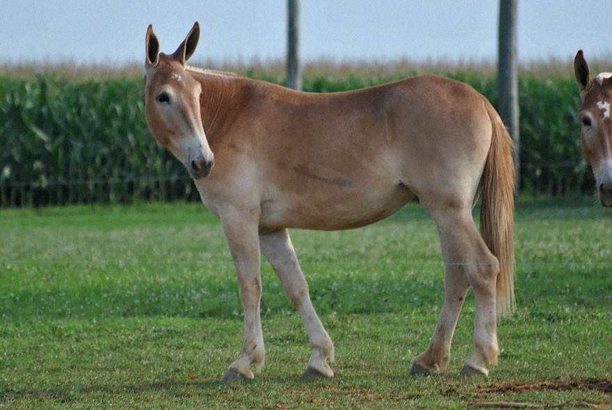 male donkey female horse