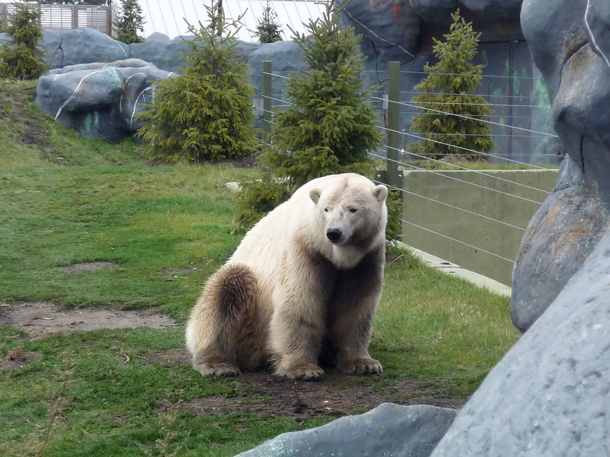 polar bear brown bear