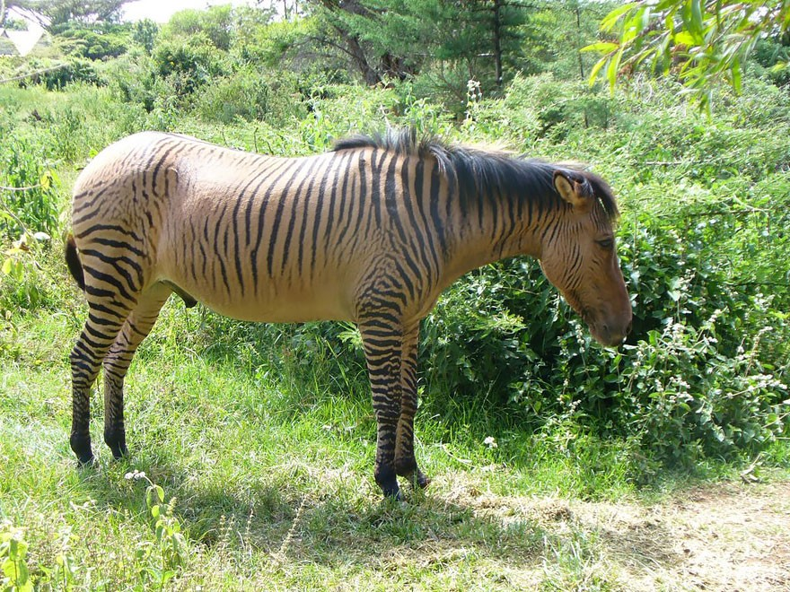 zebra equine