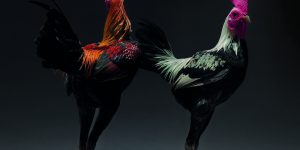 Невероятные петухи в фотокниге Морено Монти и Маттео Транчеллини